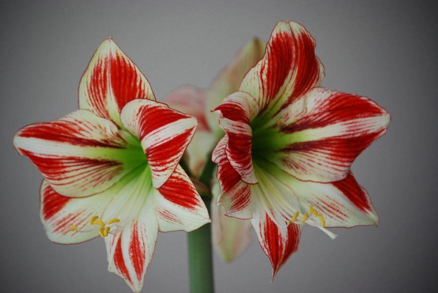Фото домашних цветов гиппеаструм бесплатно