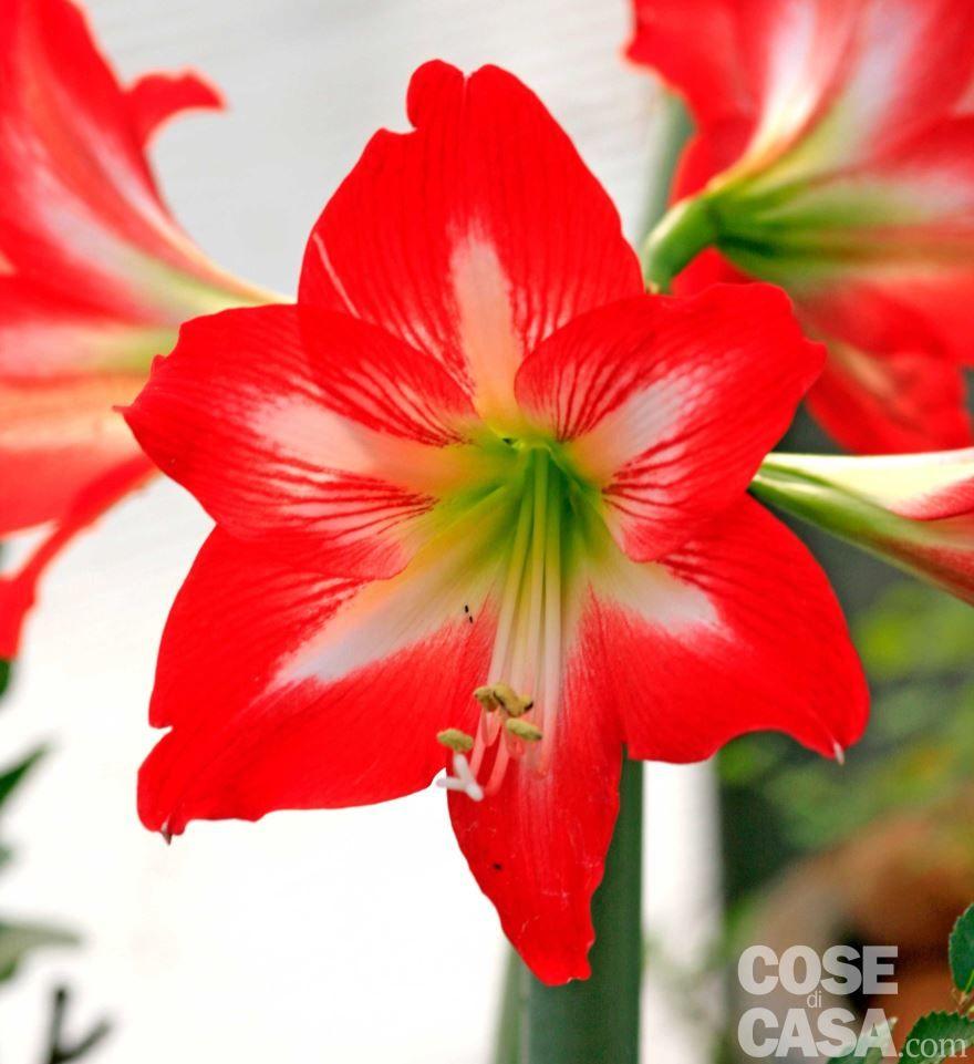 Скачать фото цветов гиппеаструм, выращенных в домашних условиях
