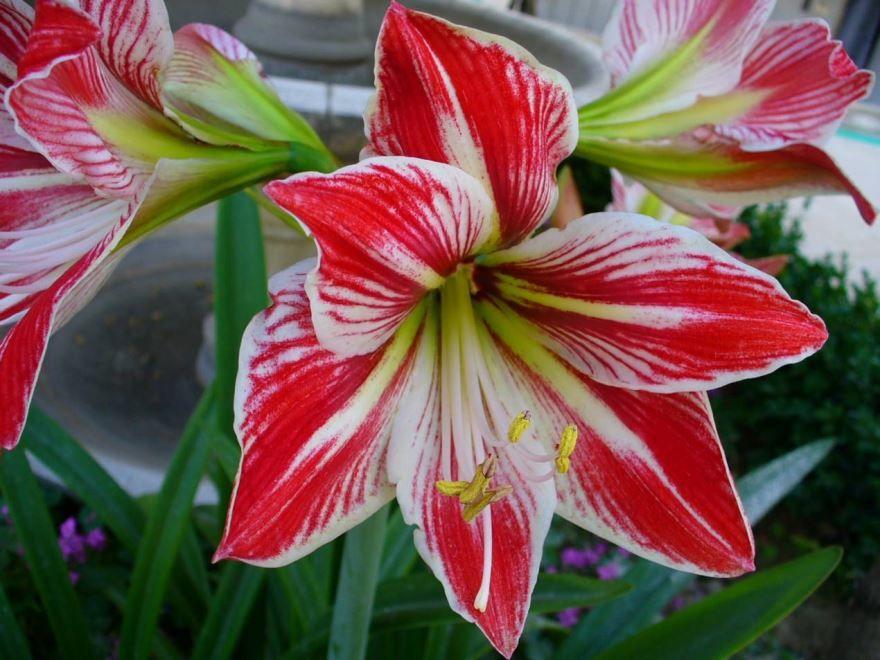 Купить фото цветов гиппеаструм? Скачать бесплатно