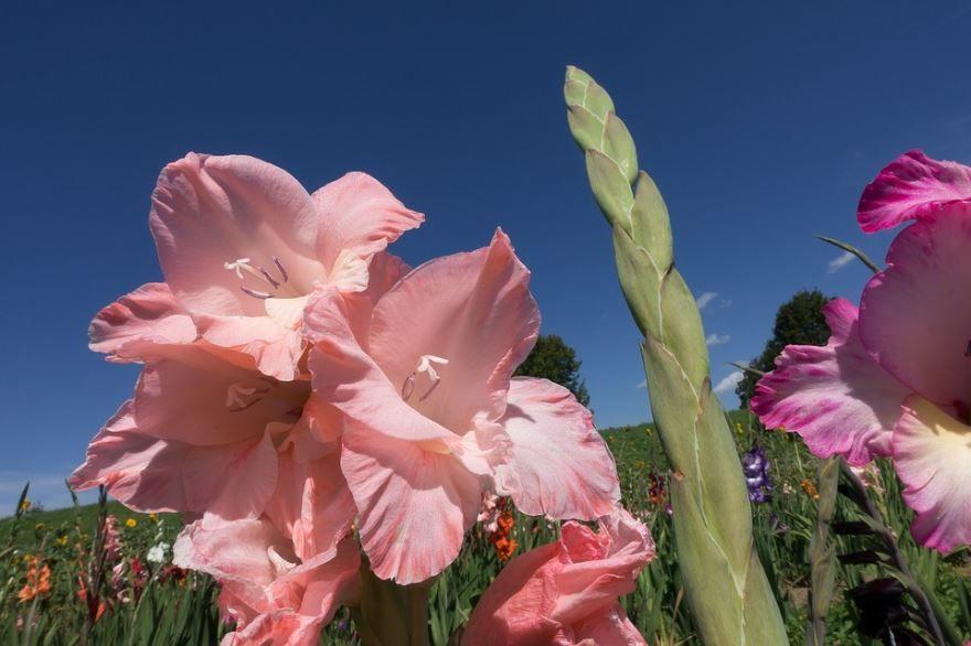 Купить фото цветов гладиолуса? Скачайте бесплатно