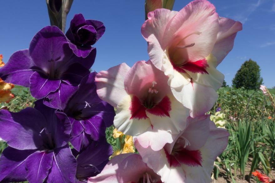 Скачать фото садового цветка гладиолуса бесплатно