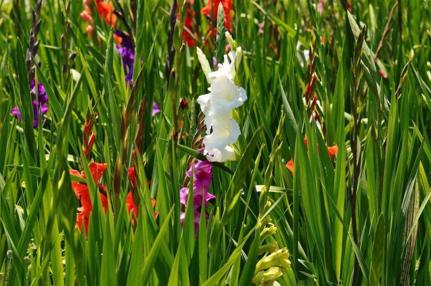 Фото домашнего растения гладиолус