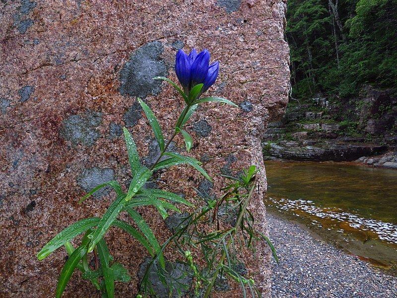 Красивые фото и картинки травянистого растения - горечавки
