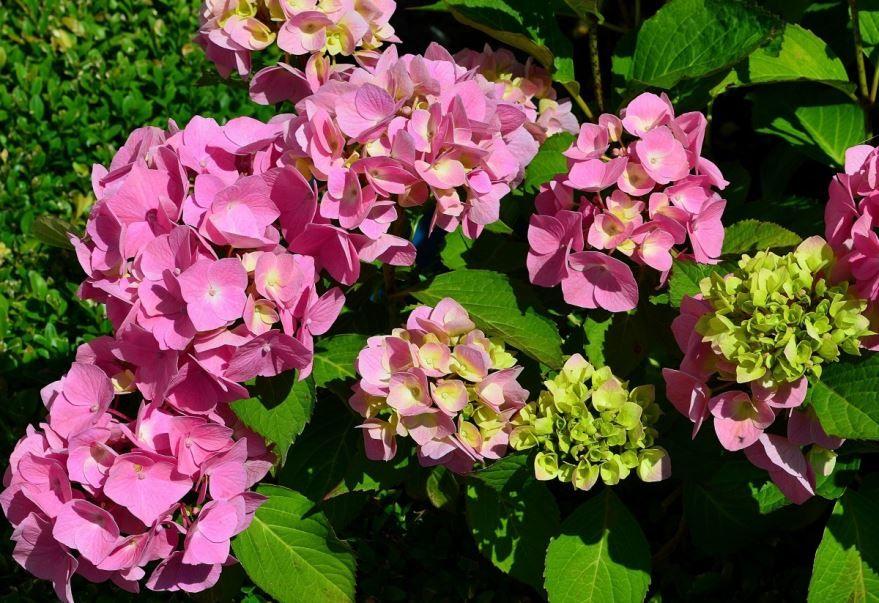 Фото осеннего растения гортензии бесплатно