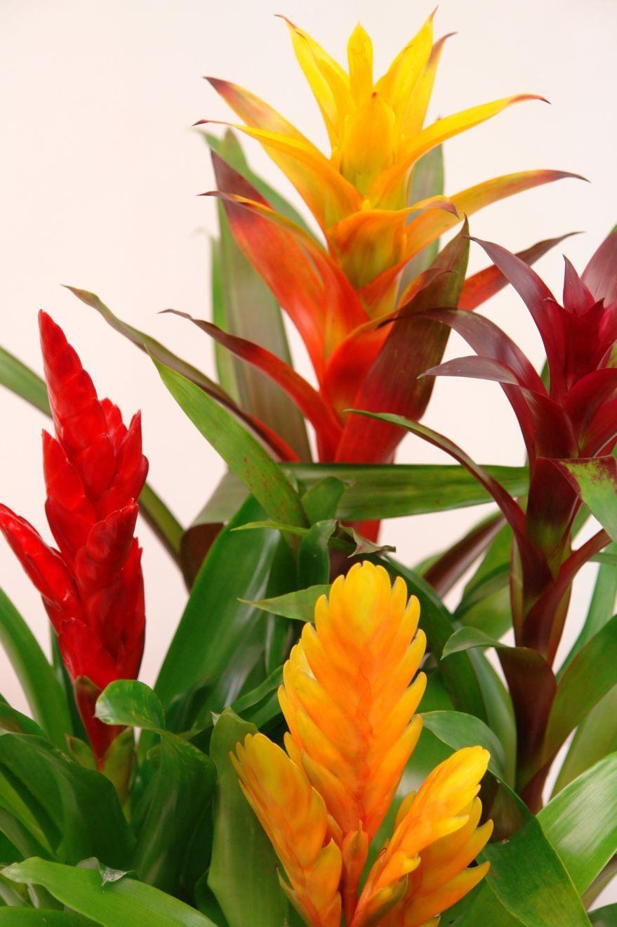 Скачать фото домашнего цветка гузмании бесплатно