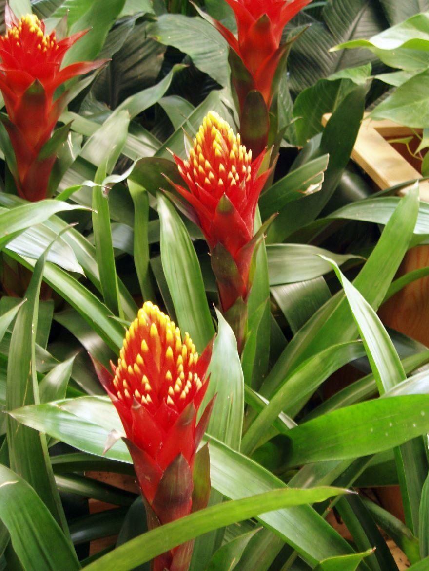 Фото красивого растения – гузмании в домашних условиях