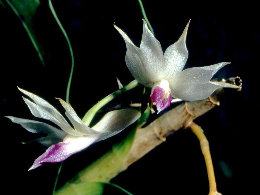 Смотреть фото комнатного цветка - дендробиума