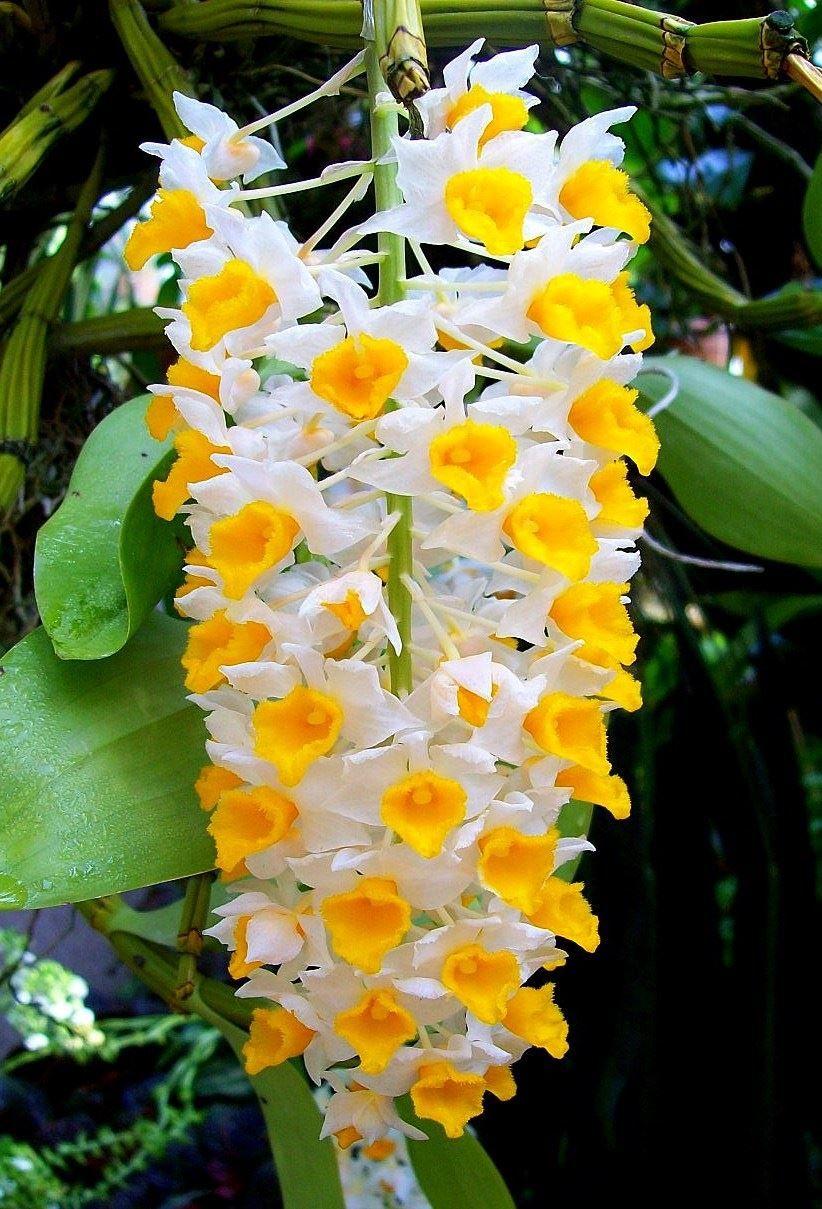 Скачать фото домашнего цветка дендробиума бесплатно