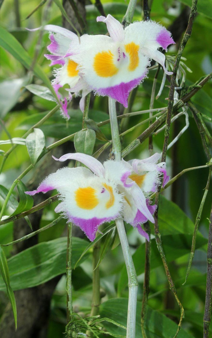 Фото красивого растения – дендробиум в домашних условиях