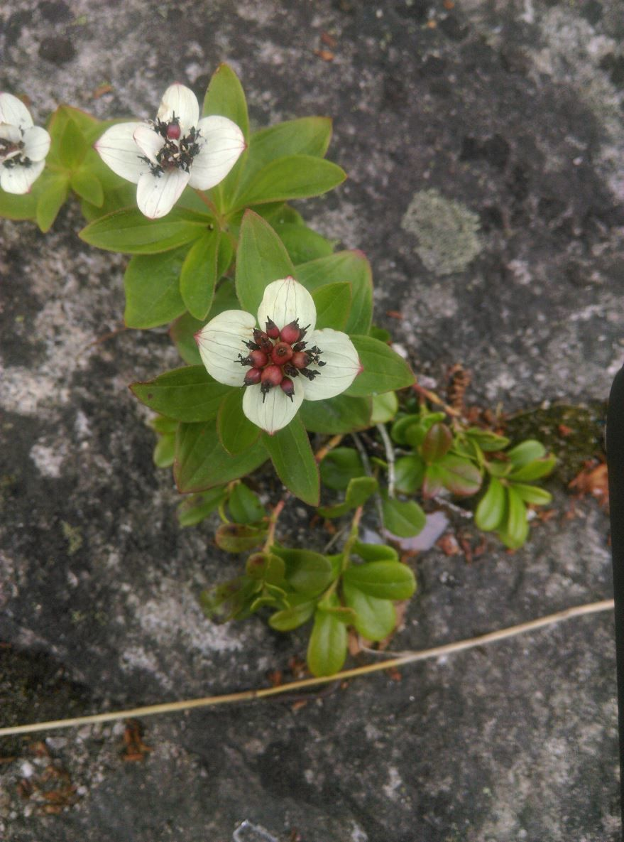 Смотреть фото кустарника с ягодами – дерен бесплатно