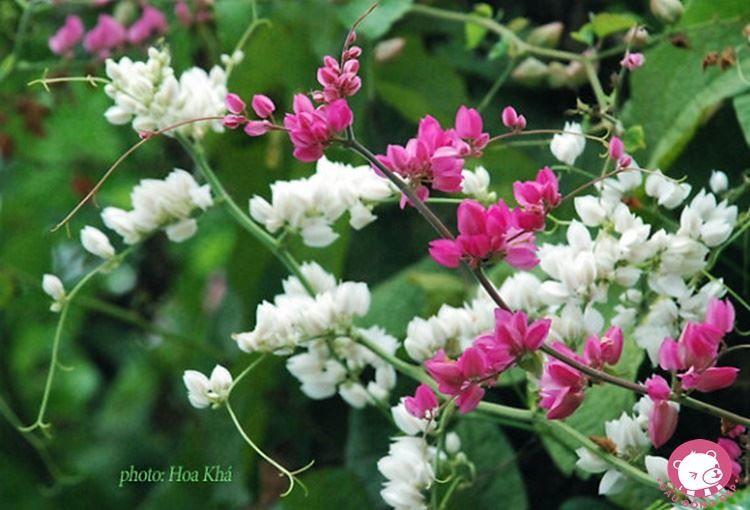 Смотреть фото растения – дицентра из Саратова