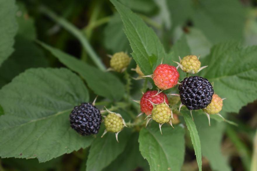 Фото плодов куста – ягоды ежевики бесплатно