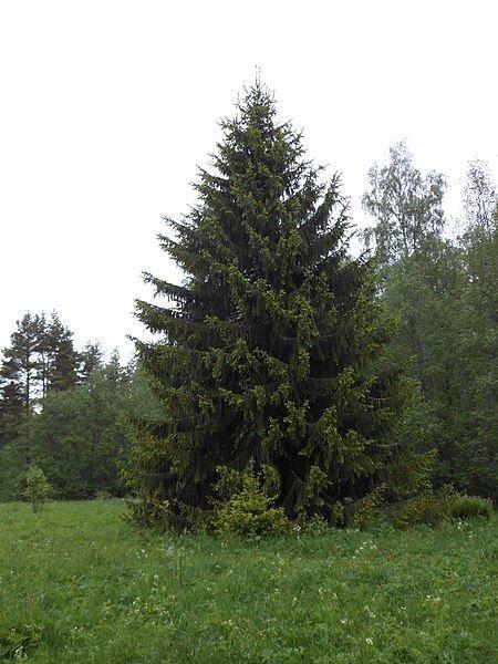 Купить фото хвойного дерева ели? Скачайте бесплатно
