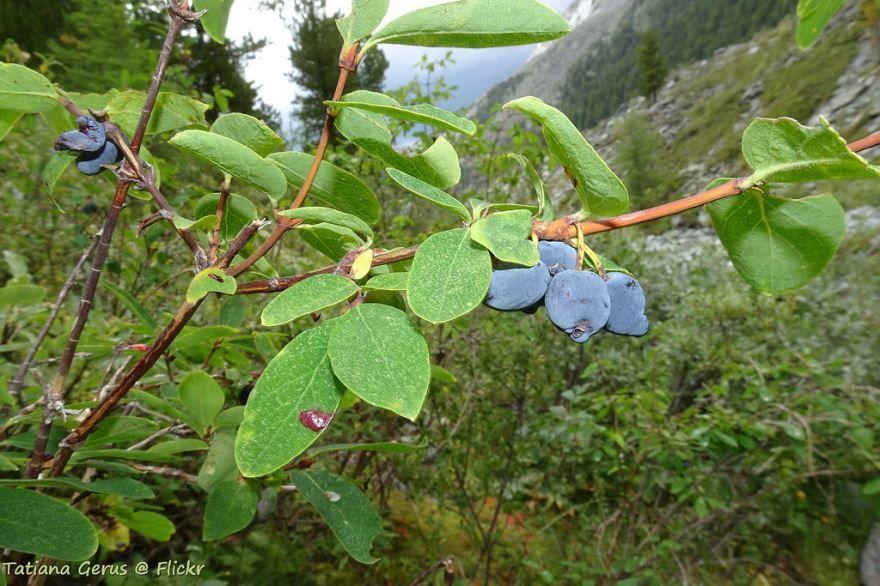 Смотреть фото съедобных ягод жимолости великана бесплатно