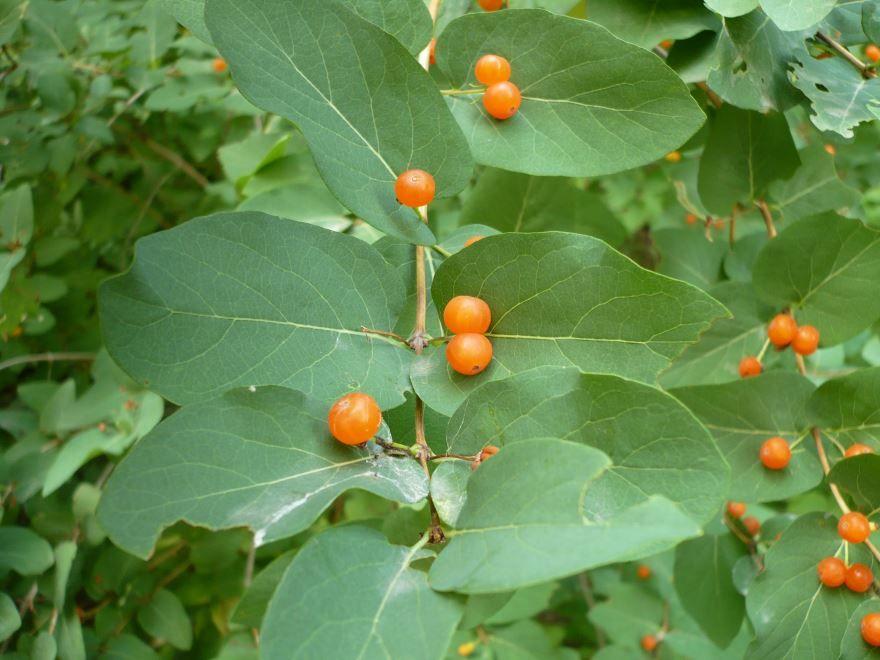 Лучшие фото куста и ягод жимолости в открытом грунте
