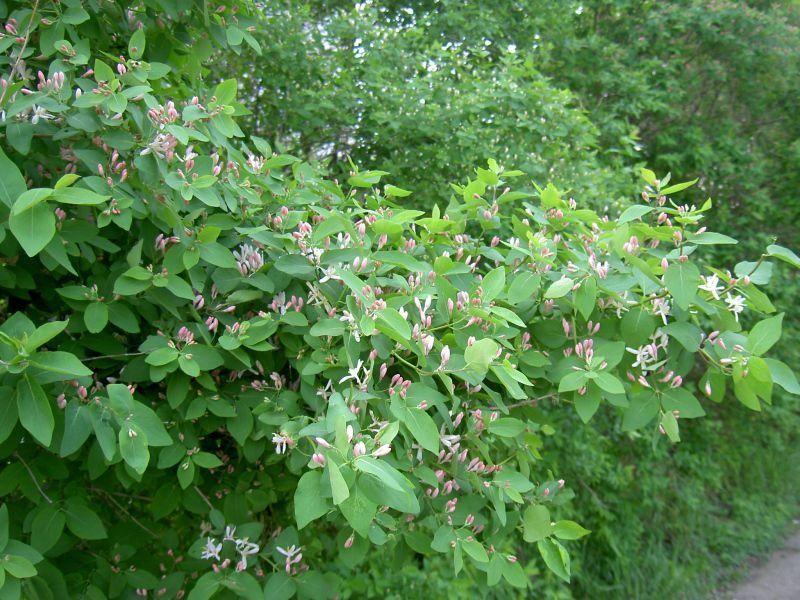 Фото ягод жимолости, обладающих полезными свойствами