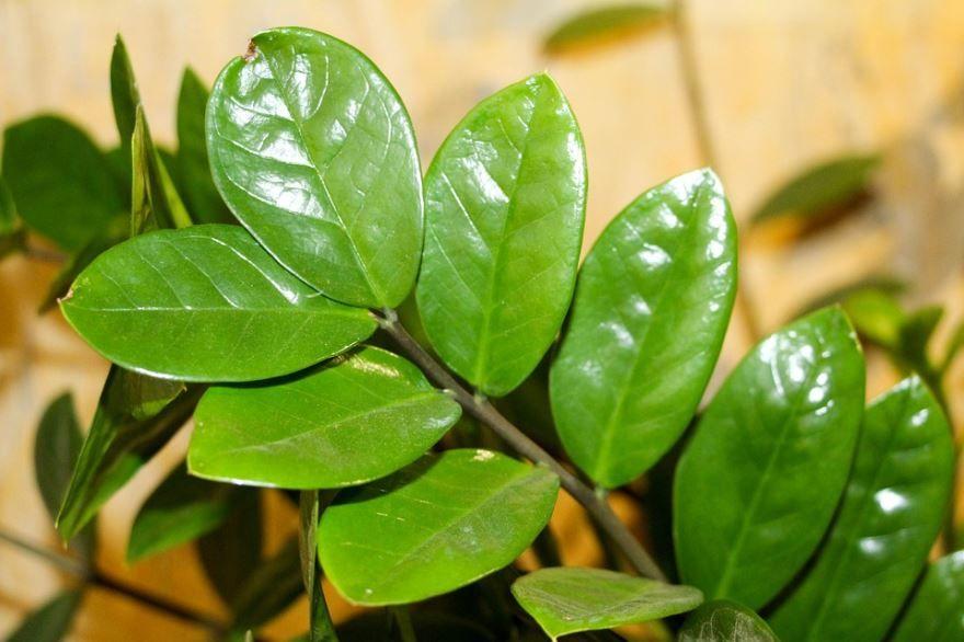 Смотреть фото цветущего растения замиокулькас в домашних условиях