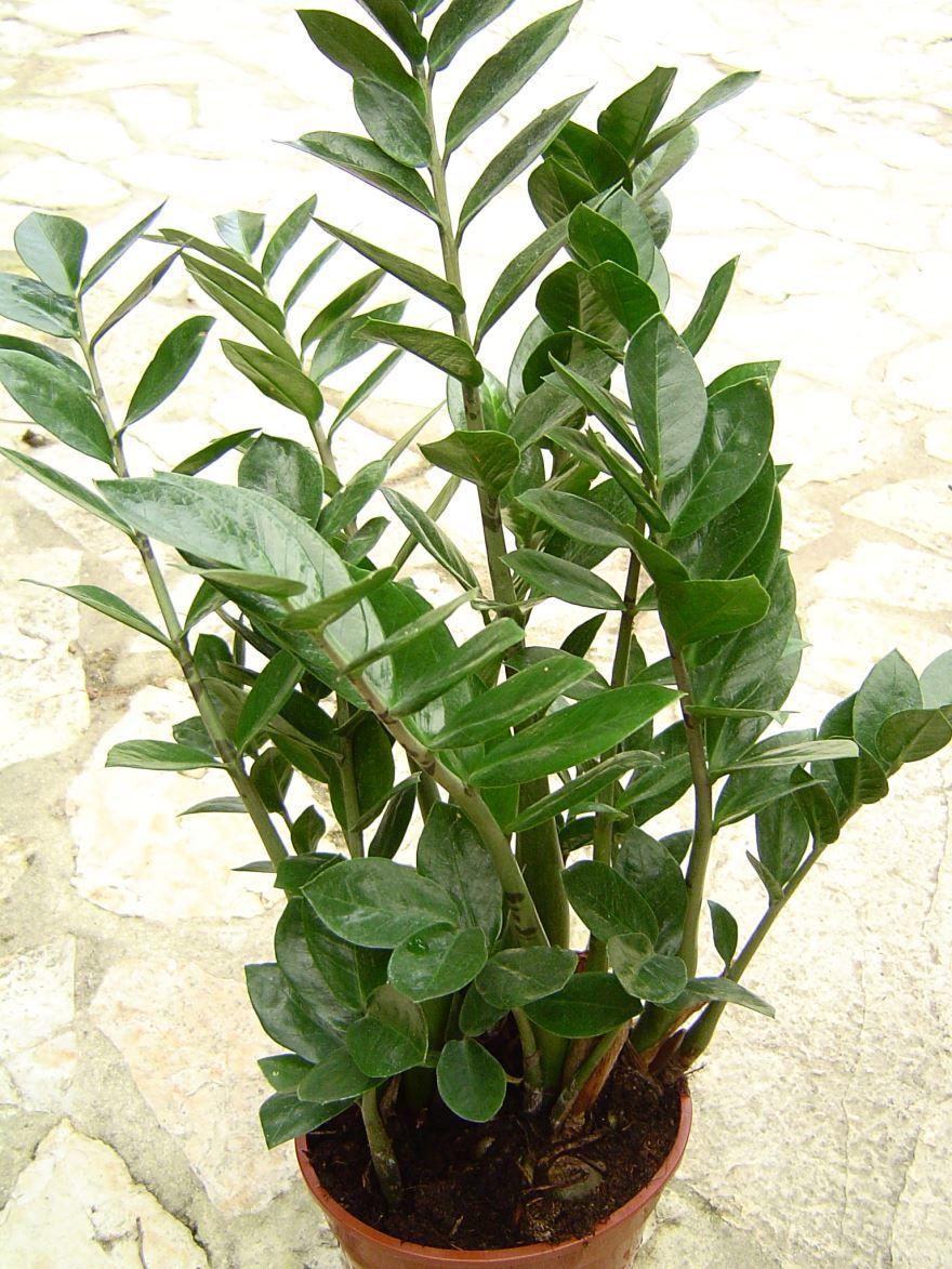 Скачать фото комнатного растения замиокулькас