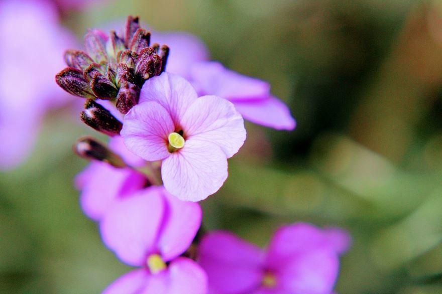 Смотреть фото многолетнего растения – ибериса
