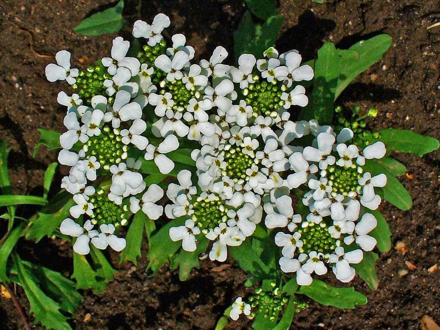 Купить фото цветка ибериса бесплатно