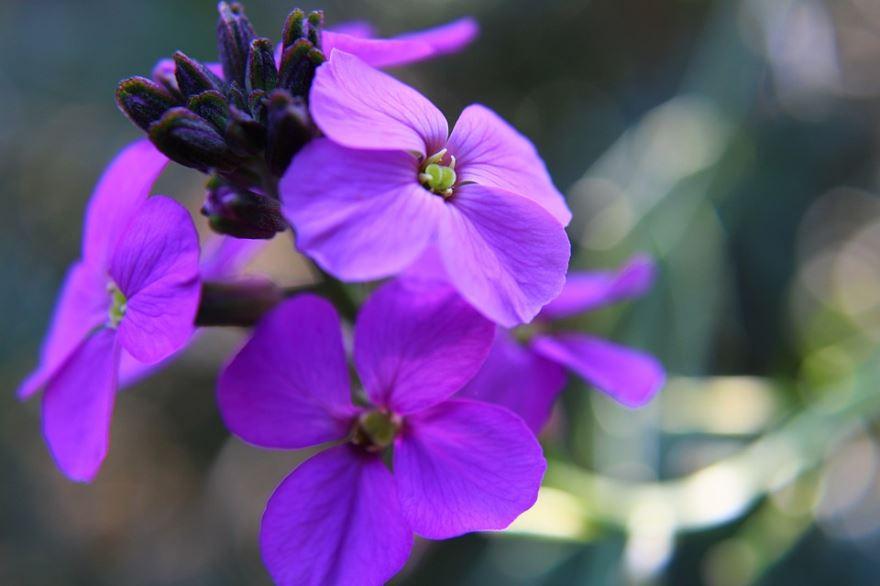 Фото красивого растения – вечнозеленого, зонтичного ибериса