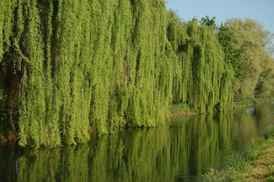 Смотреть фото цветущего растения ивы