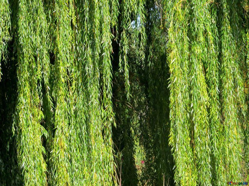 Фото дерева плачущей ивы онлайн