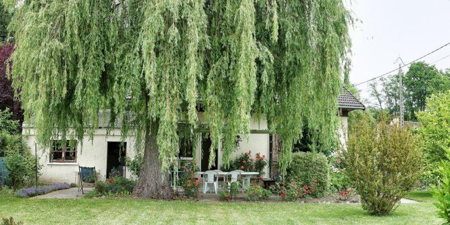 Купить фото дерева ивы? Скачайте бесплатно