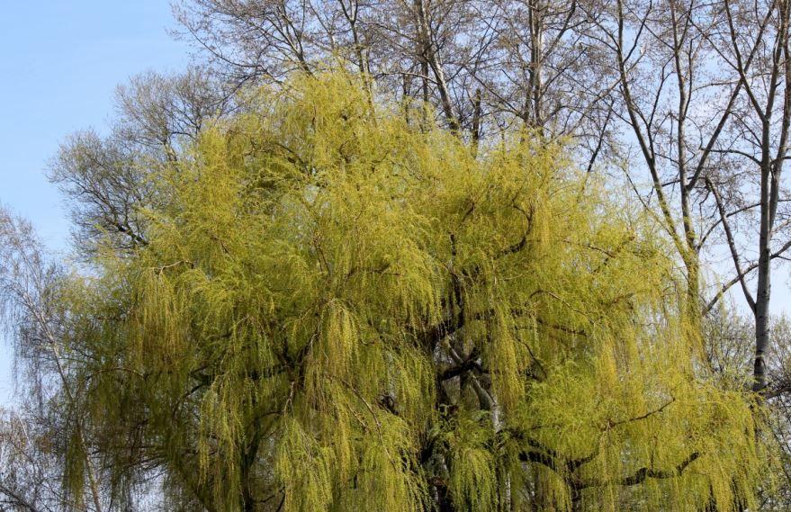 Фото цветущего дерева ивы бесплатно