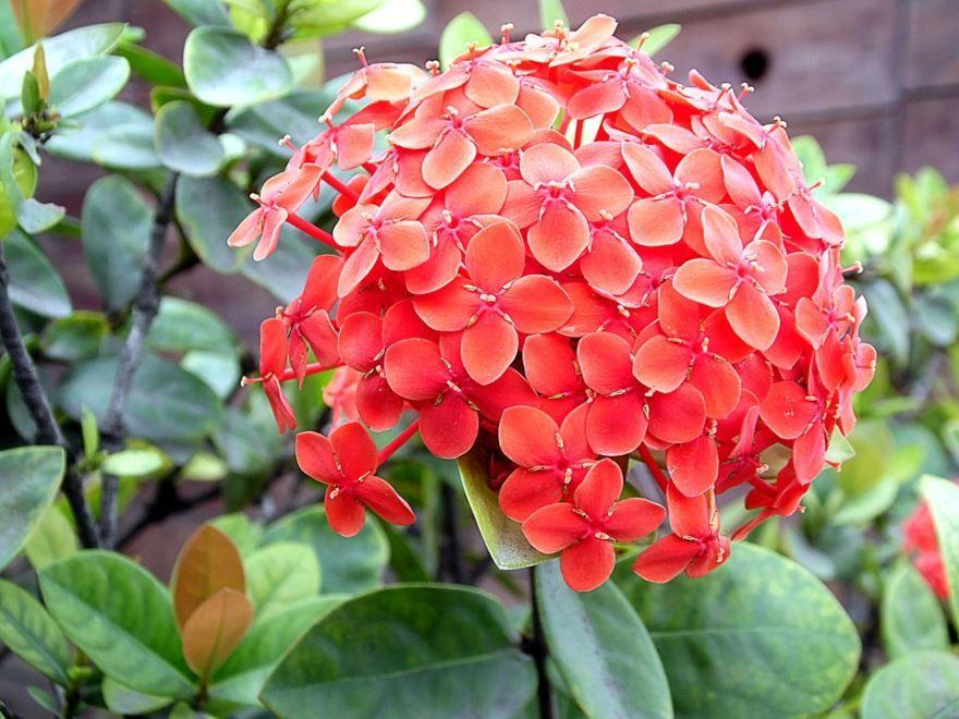Скачать с нашего сайта фото растения иксора