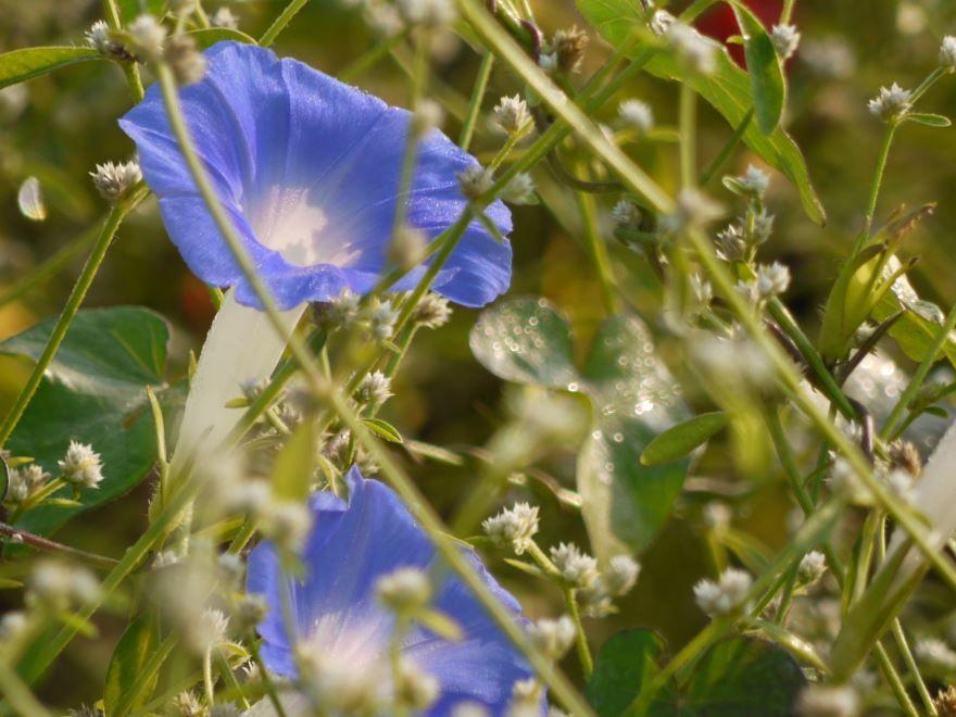 Фото растения ипомеи для однолетней посадки