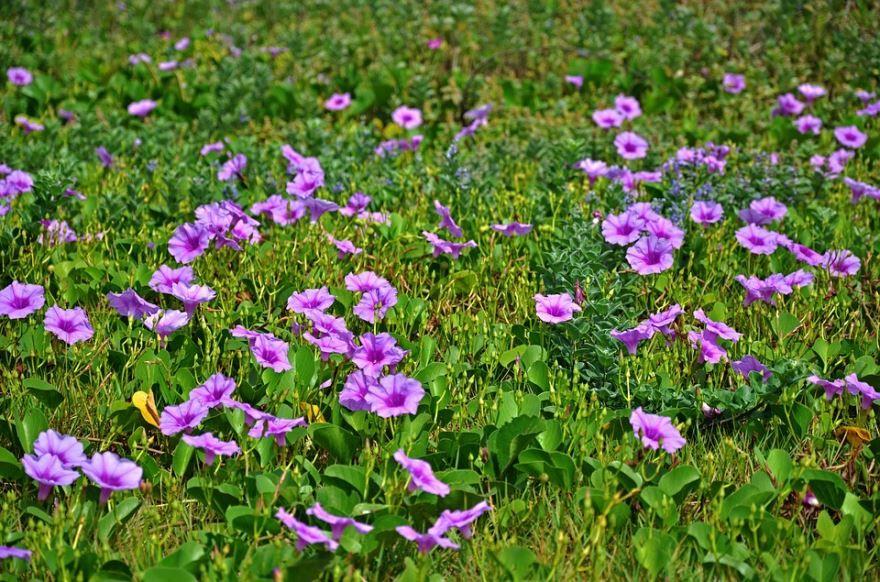 Фото многолетнего растения ипомеи бесплатно