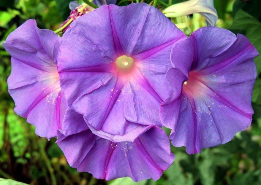 Фото выращивания комнатной ипомеи онлайн