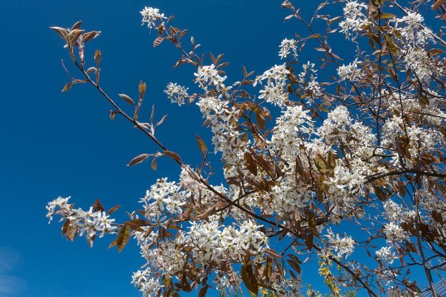 Смотреть фото осеннего растения – ягод ирги онлайн