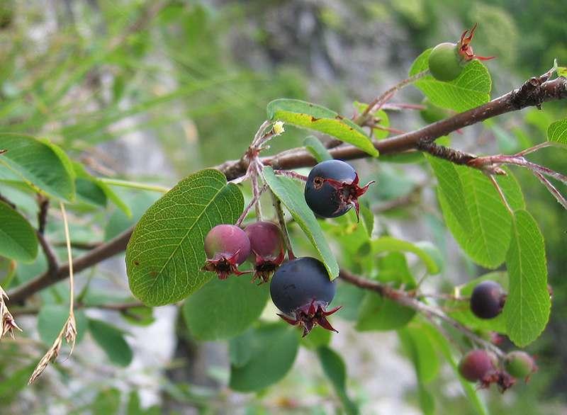 Фото ягод ирги, с полезными свойствами и противопоказаниями