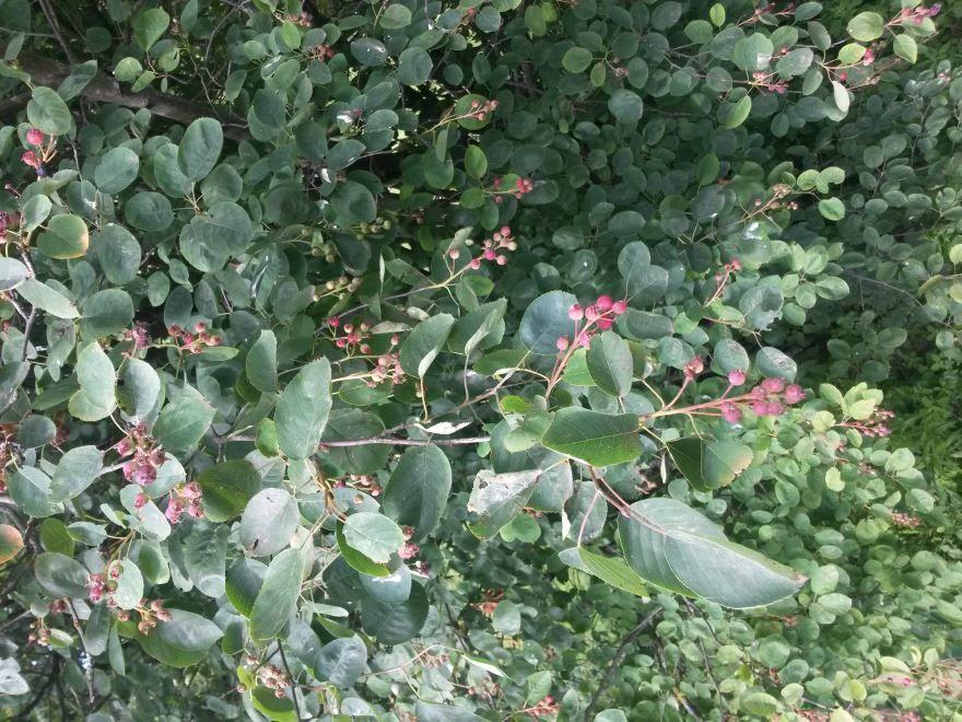 Смотреть фото подмосковных ягод ирги