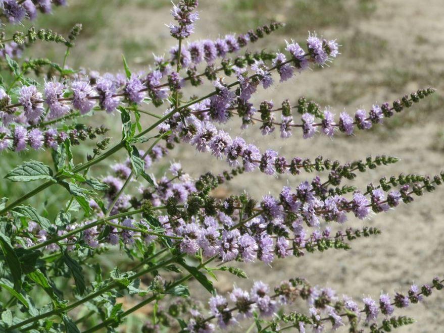 Скачать фото лекарственной травы – иссоп, выращенной в открытом грунте