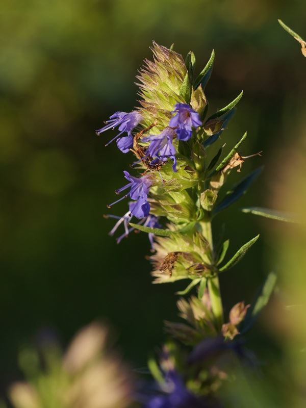 Смотреть фото травы иссоп, обладающей полезными свойствами
