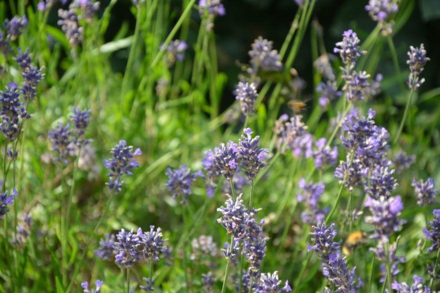 Фото растения иссоп, имеющего полезные свойства и противопоказания