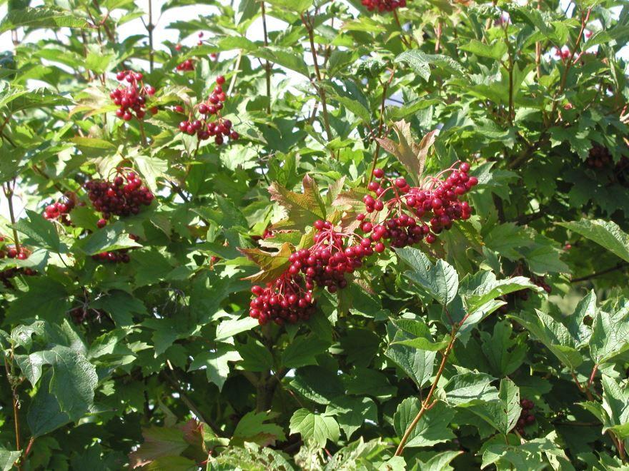 Фото лекарственных ягод калины онлайн