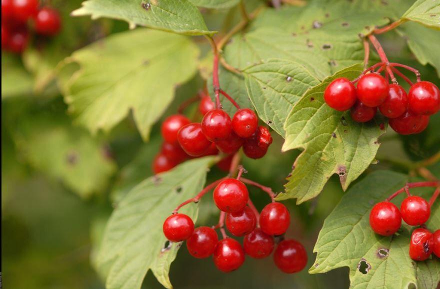 Смотреть красивые фото лечебных ягод калины
