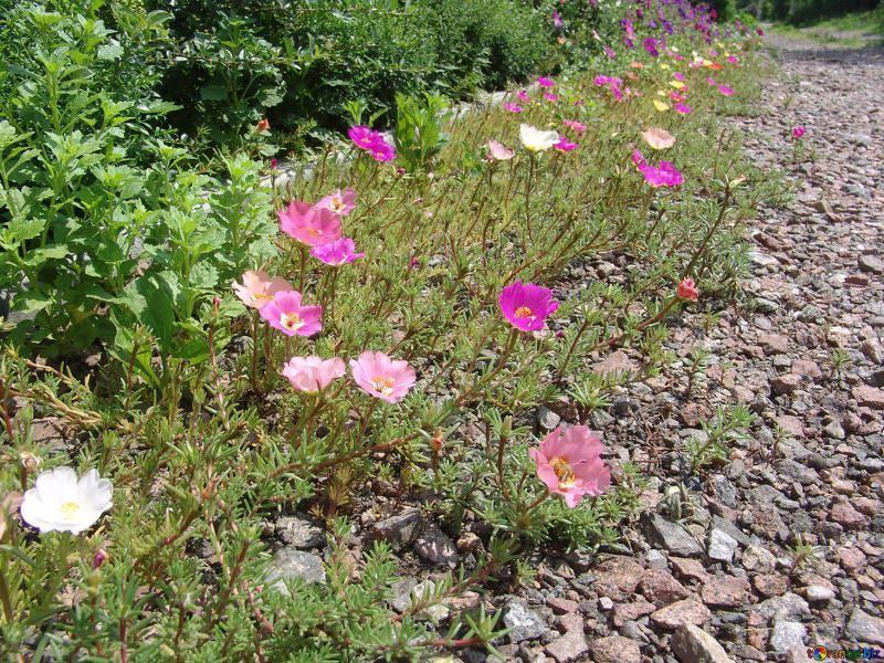 Фото осеннего растения камнеломка, в открытом грунте