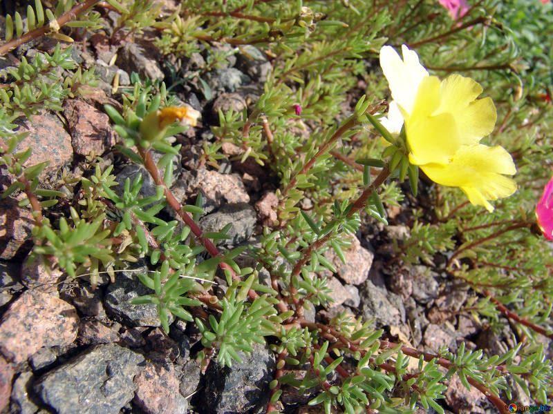 Фото цветка теневая камнеломка, в хорошем качестве