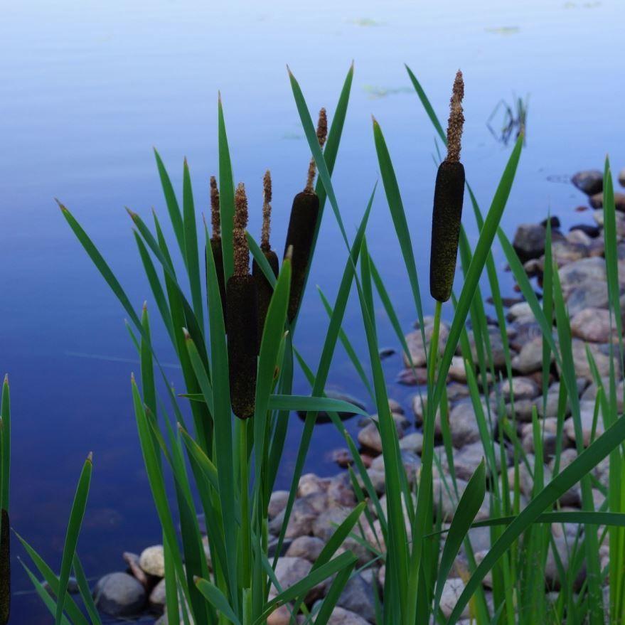 Скачать фото зарослей камыша у реки
