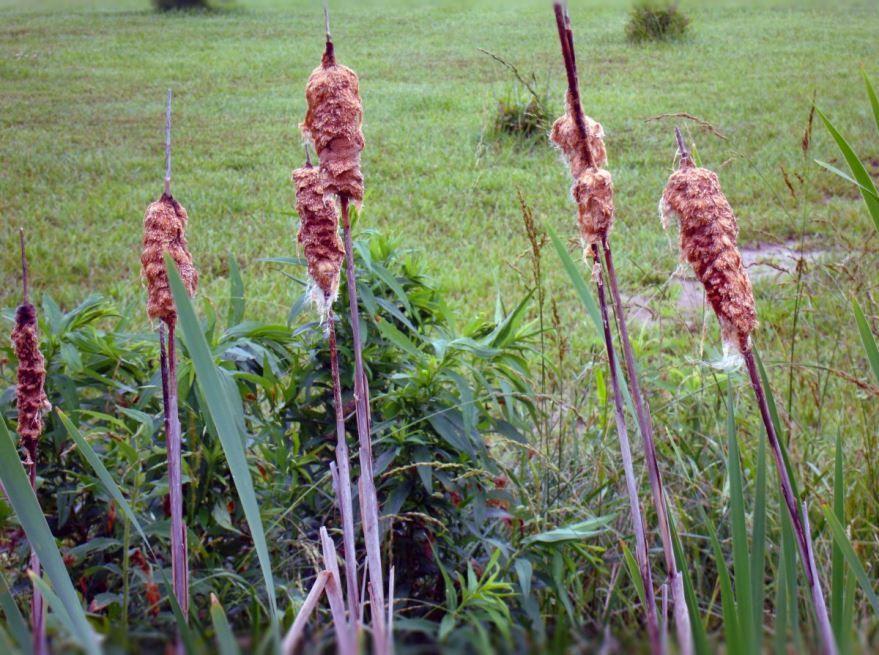 Фото растения камышей и рогоза онлайн