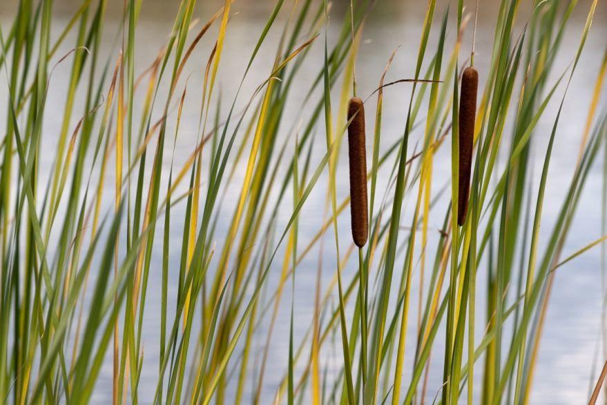 Фото и картинки растения, травы камыша бесплатно