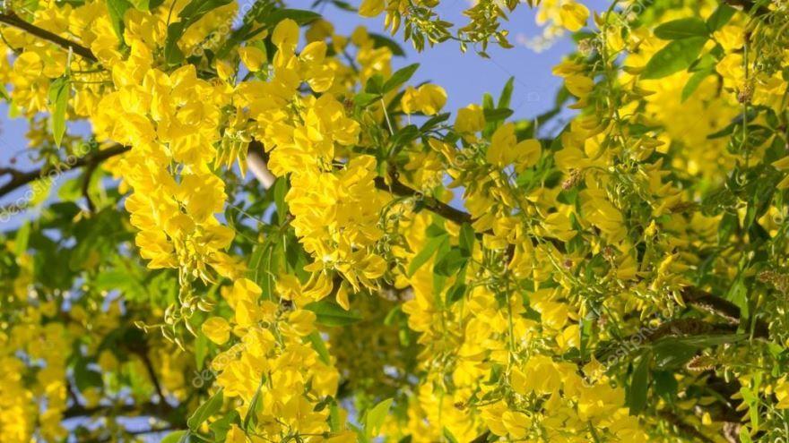 Фото растения кассия остролистная бесплатно