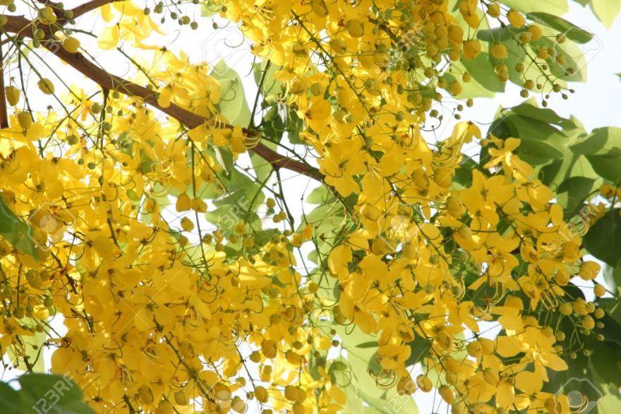 Фото полезного для здоровья растения – кассии