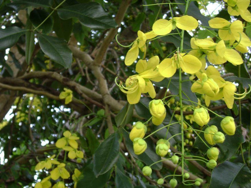 Смотреть фото полезного растения кассия лонгин