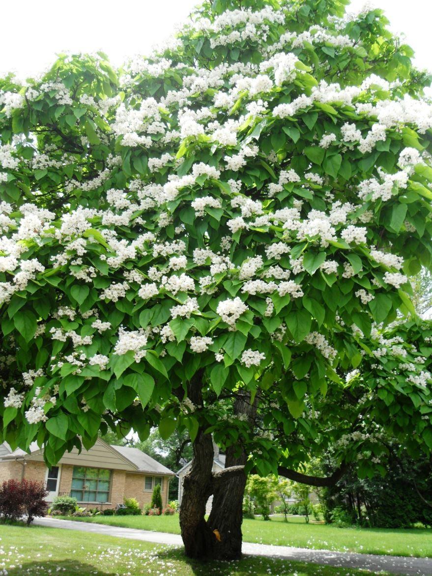 Смотреть фото дерева катальпы бесплатно